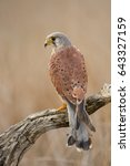 common kestrel  falco...   Shutterstock . vector #643327159
