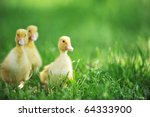 Three Fluffy Chicks Walks  In...