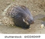 Portrait Of Crested Porcupine...