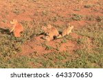Small photo of Mother Black Tailed Prairie Dog sounded the all clear and 6 of her 8 babies exit the safety of their burrough in Caprock Canyon State Park in High Plains of Texas Panhandle.