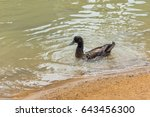Dark Color Lone Duck Swimming...
