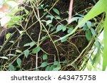 Small photo of Aeschynanthus acuminatus