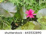 The Lotus Flower Bloom In The...