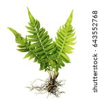 Fern With Roots And Frond ...