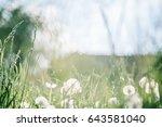dandelion field fluffy... | Shutterstock . vector #643581040