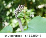 sugar glider on the tree.   Shutterstock . vector #643635049