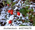 Cotoneaster Berries In The Sno...