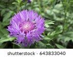 Cornflower  Centaurea Dealbata