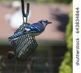 Small photo of Bluejay on a suet feeder