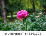 Peonies In Natural Background