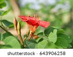 Small photo of African Plume with Beautiful red flower.