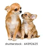 Dog of breed chihuahua and its puppy in studio - stock photo