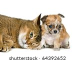 Cat and puppy of the chihuahua in studio - stock photo