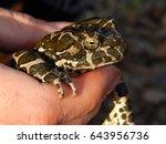 toad in hand | Shutterstock . vector #643956736