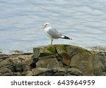 European Herring Gull  Larus...