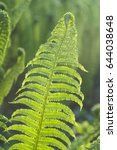 Small photo of Fern polypody adder's tongue plant in forest in early midsummer morning and day sunlight