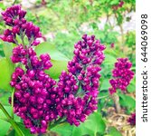 blooming lilac. spring...   Shutterstock . vector #644069098