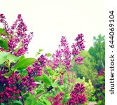 blooming lilac. spring...   Shutterstock . vector #644069104