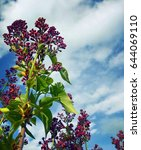 blooming lilac. spring...   Shutterstock . vector #644069110