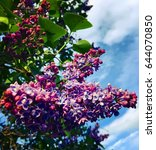 blooming lilac. spring...   Shutterstock . vector #644070850