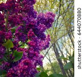 blooming lilac. spring...   Shutterstock . vector #644070880