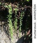 Small photo of Dischidia nummularia Variegata