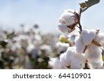 Close Up Of Ripe Cotton Bolls...