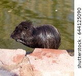 Small photo of Black coypu on a pond in the park