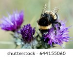 A Bumblebee Feeding On Nectar...