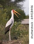 Yellow Billed Stork In Profile