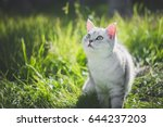 Stock photo close up of cute american short hair cat looking up on green grass 644237203