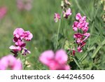 perennial peavine or perennial... | Shutterstock . vector #644246506