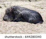 chacoan peccary  catagonus... | Shutterstock . vector #644280340