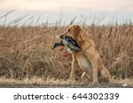 labrador retriever and mallard... | Shutterstock . vector #644302339