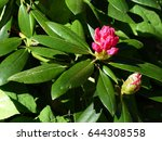 Small photo of Rhododendron yakushimanum,Kalinka. Ericales family