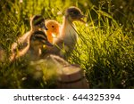 Group Of Ducklings Walking In...