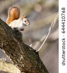 Small photo of American Red Squirrel Perched in a Tree