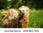 camel chewing food with open... | Shutterstock . vector #644481760