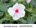white impatiens balsaminaceae... | Shutterstock . vector #644494054