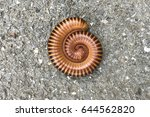 millipede rolled into a circle... | Shutterstock . vector #644562820
