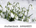 Snowdrops Closeup  On Snow