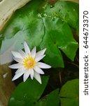 my little lotus is blooming... | Shutterstock . vector #644673370