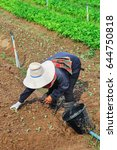 Small photo of agriculturist planting the organic vegetables seedlings in garden