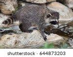 newborn raccoon  procyon lotor  ... | Shutterstock . vector #644873203