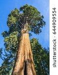 looking up to giant sequoia in... | Shutterstock . vector #644909554