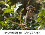 crab eating macaque | Shutterstock . vector #644937754