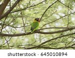 Small photo of Wild Yellow-collared Lovebird (Agapornis personatus) Perched in a Tree in Northern Tanzania