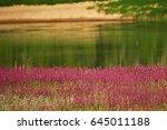 Viscaria Vulgaris Pink And...