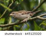house sparrow  passer... | Shutterstock . vector #645125320