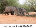 javelina or skunk pigs drinking ... | Shutterstock . vector #645147490